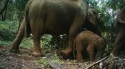 Elephant calf throwing tantrum