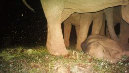 Sleeping elephant calf
