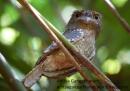 Sri Lankan frogmouth