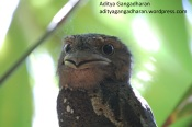 frogmouth 072