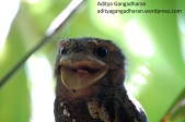 frogmouth 073