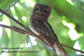 Confused frogmouth