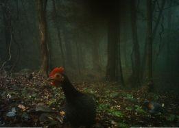 Curious jungle fowl