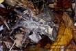 Poecilotheria tarantula