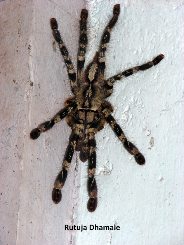 Yellow legged Wolf Spider