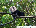 Majestic lion tailed macaque