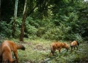 Dholes chewing on water pipes