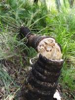 Phoenix palm smashed by elephant