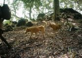 Dogs used by Malampandaram people when out collecting forest produce