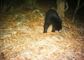 Sloth bear hopefully looking for mangoes to munch on