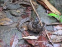 A dark brown snake is very difficult to spot in the monsoon rainforest leaf-litter