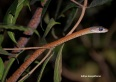 Large-eyed brozebacked tree snake (what a complicated name)