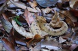 A furious hump-nosed pit viper
