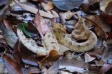 A furious hump-nosed pit viper