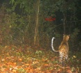Leopard has spotted the sambar, but  sambar has also spotted the leopard