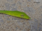 A dying green vine snake - victim of a roadkill. You actually see the light slowly dim away.