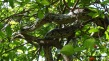 Python on a tree, digesting its meal