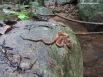 Malabar pit viper waiting for an unwary frog