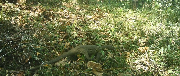 Common Indian monitor